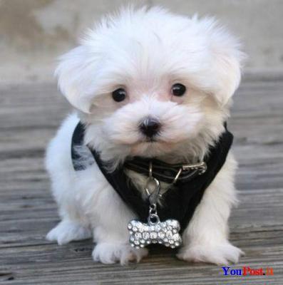Regalo Cuccioli Di Chihuahua Mini Toy Regalo Annunci Animali E